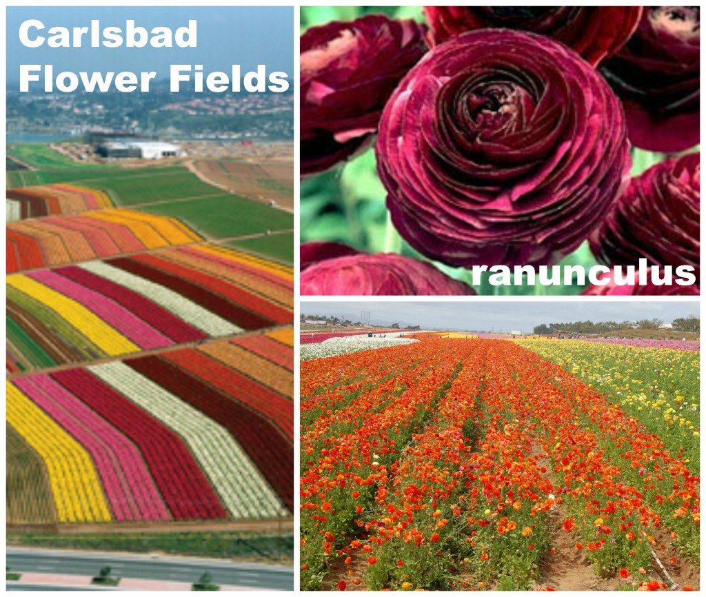 Flower Fields in Carlsbad, CA. Photo sources: bloomingbulbs.com;